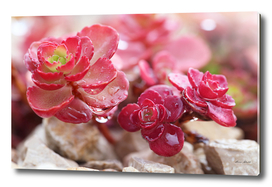 Succulent Garden Cactus Flower Tropical Red Cacti with drops
