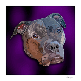 Pit bull portrait with a ultraviolet background