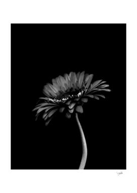 Daisy gerbera. Black and white