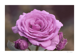 Light Lilac Pink Rose #1 #floral #art