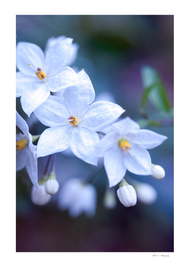 Jasmine Nightshade Flowers #3 #floral #art
