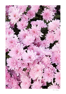 A Sea of Light Pink Chrysanthemums #1 #floral #art
