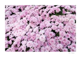 A Sea of Light Pink Chrysanthemums #2 #floral #art