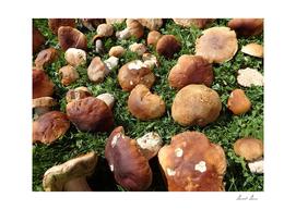 Boletus edulis - edible mushroom