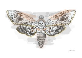 deaths head hawk moth 2