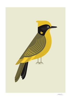 Helmeted Honeyeater, Bird of Australia