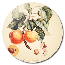Apricot- Creamy Vintage