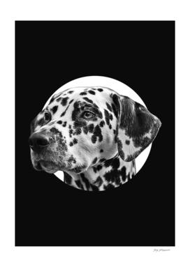 Dalmatian dog A1