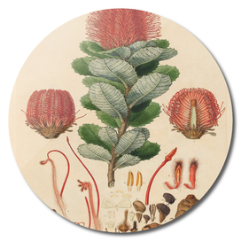 Banksia coccinea (Ferdinand Bauer)