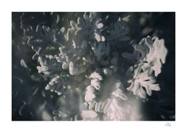 Dark Selenium Seaside Cineraria