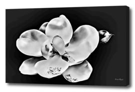 Magnolia Blossom on Canvas