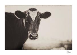 Gentle Cow
