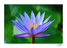 Violet lotus flower by #Bizzartino