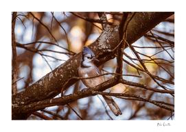 Autumn's Blue Jay
