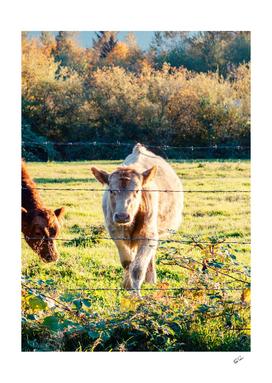 Vert Cow