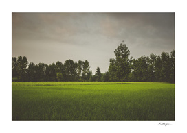 Rice Field #1