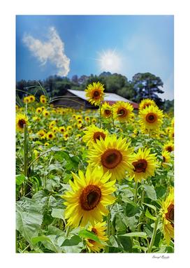 Bright Sunflowers Under Star Sun
