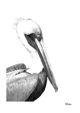 Black and White Pelican