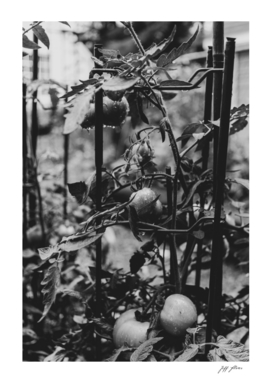 Monochrome Tomatoes