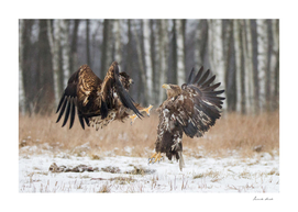 White-Tailed Eagle Fight
