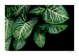 Green leaf of caladium