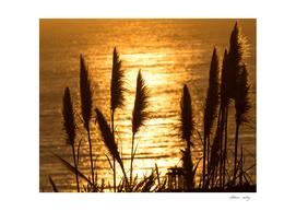 Fields of Gold in Ocean