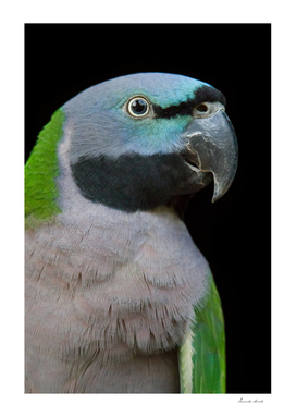 Lord Derby's parakeet