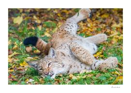 Playful Lynx
