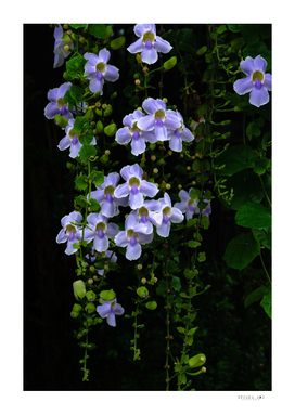 Purple flowers on vine