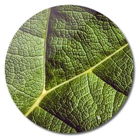 Green leaf giant rhubarb mammoth sheet