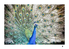Peacock bird colorful plumage