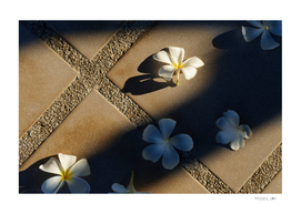 Plumeria flower on tile floor