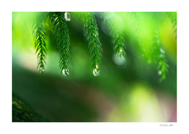 Drops at evergreen leaves