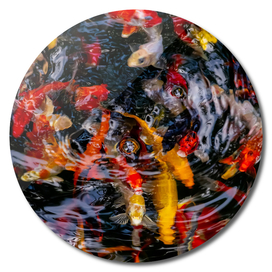 Colorful fish in pond