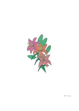 Lilies a