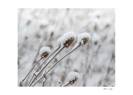 Snow on Thistle