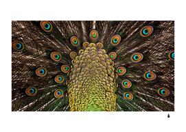 Peacock feathers wheel plumage