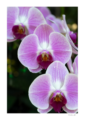 Orchid blossom