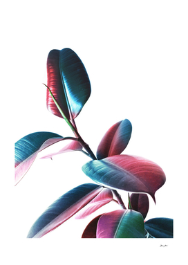Colourful Rubber Leaves