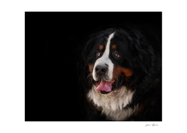portrait of a purebred bernese mountain dog