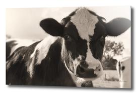 Beautiful curious cow