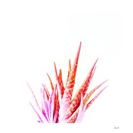Living Coral Aloe Vera
