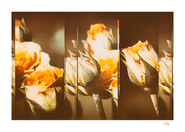 Yellow Rose Buds Collage
