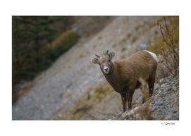 Chevrette on cliff, close to Maligne Lake. Jasper, Canada