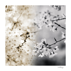 Assorted Cherry Blossoms in Muted Tones