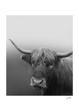 Highland Cow- black and white