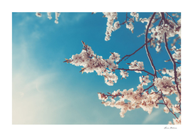 Spring Cherry Sakura White Flowers,Toning