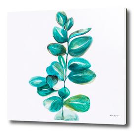 Tropical eucalyptus, Illustration