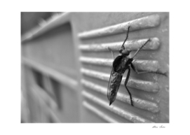 Mosquito, macro b&w photography