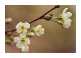 Cherry flowers close-up - image
